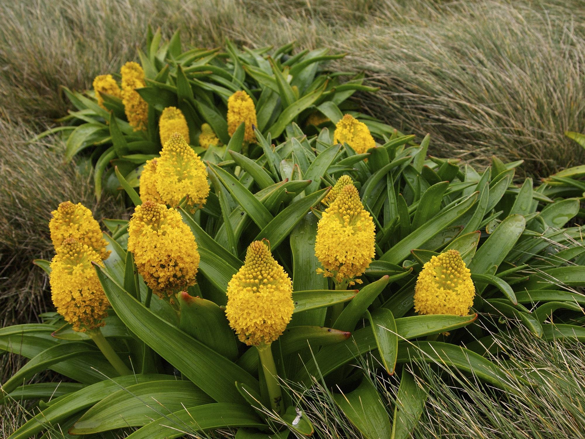 Mega biljke podantarktičkih ostrva