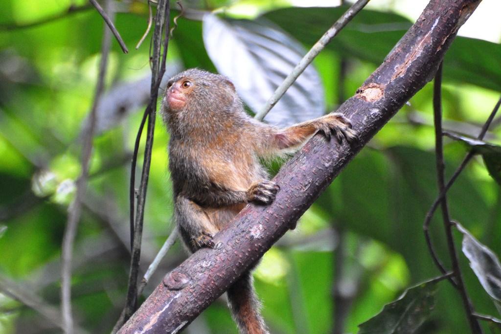 Patuljasti marmoset: Najmanji majmun na svetu