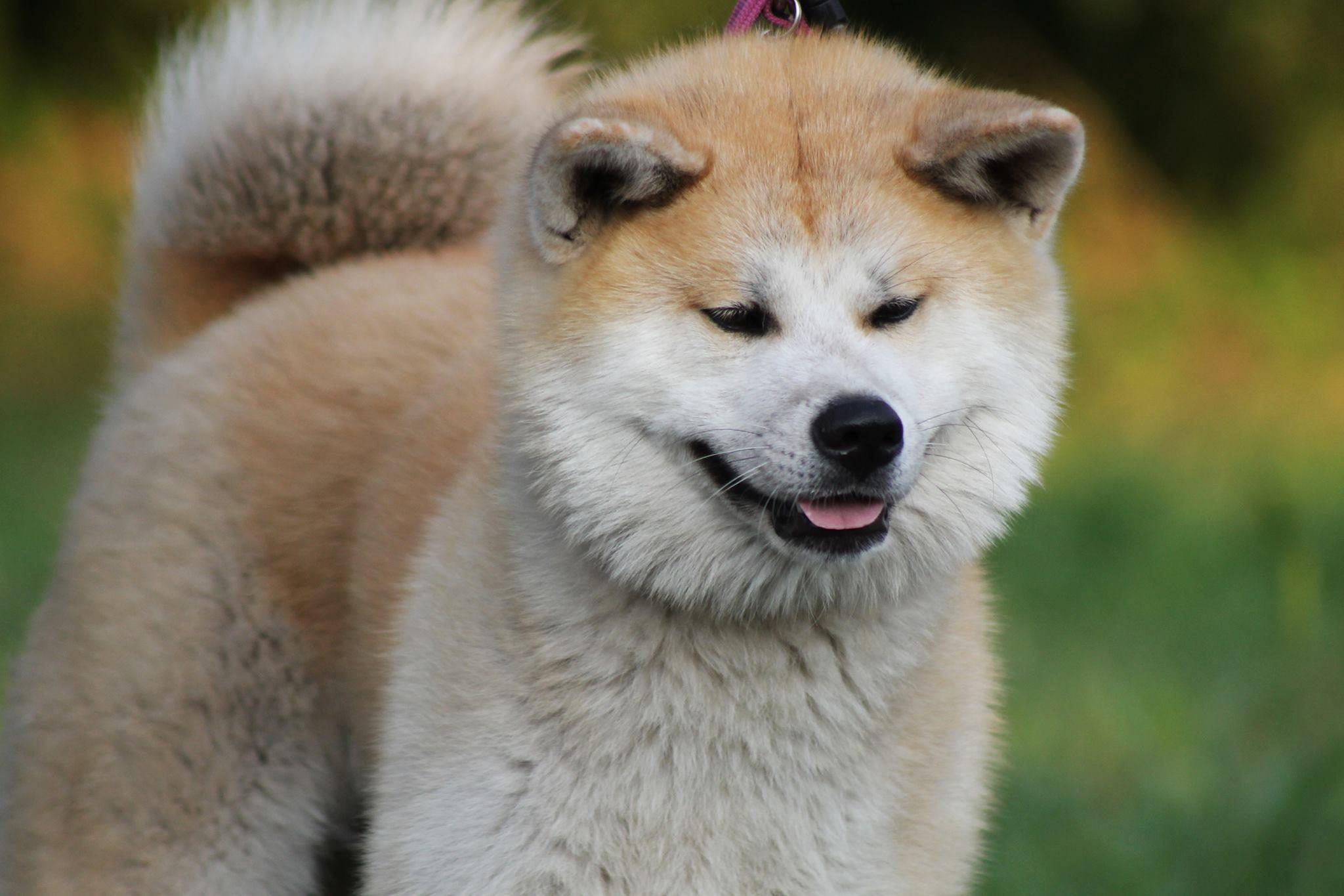 Pas Hačiko – vernost bez granica