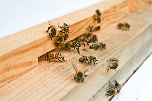 Šta bi se desilo kada bi pčele nestale?