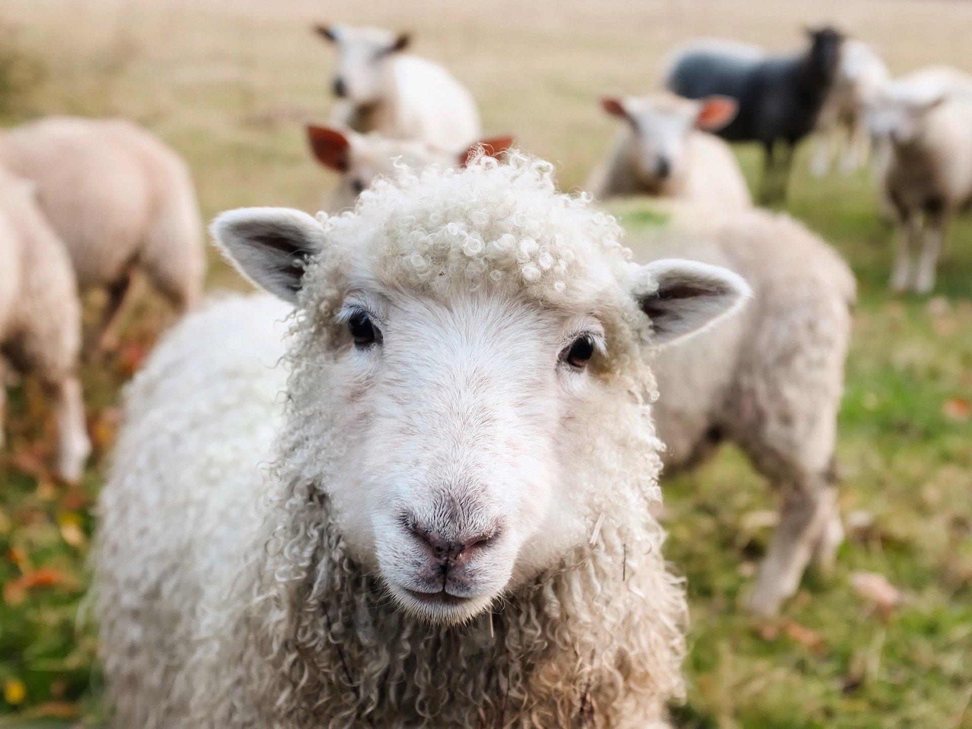 Spoj nespojivog: onlajn ovčarstvo