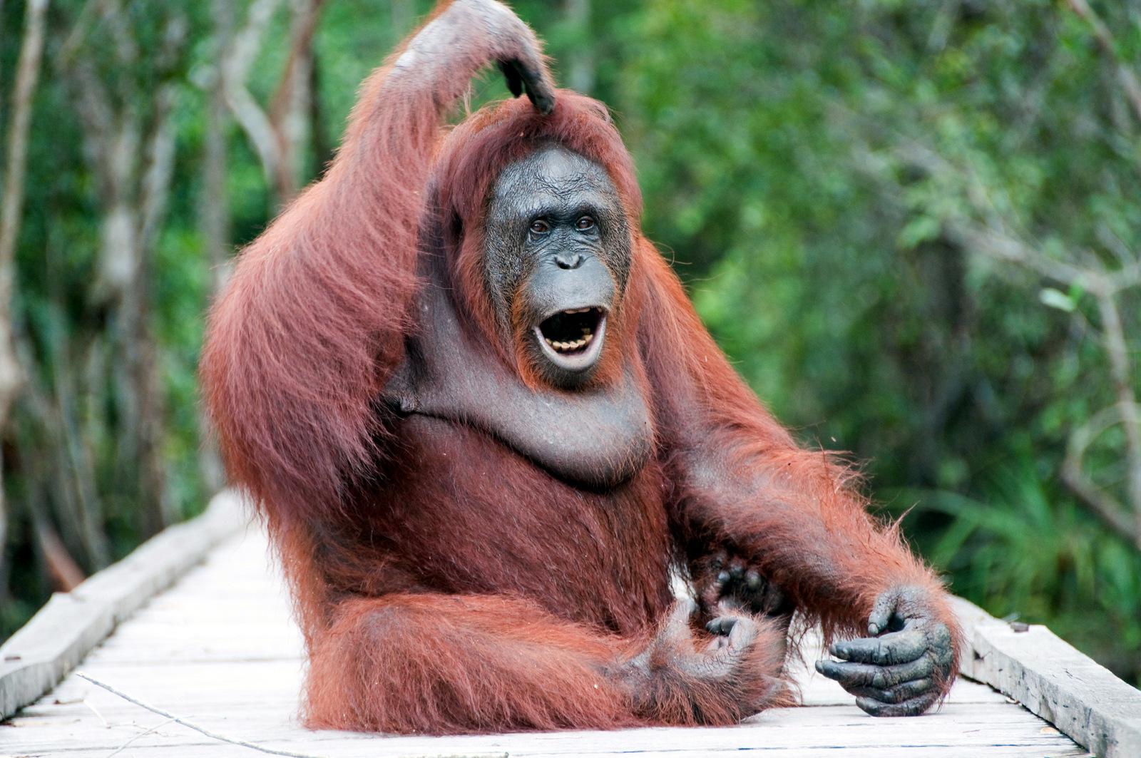 Orangutani i evolucija ljudskog jezika